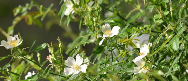 Arbusto Boschivo Dai Fiori Gialli.Fatto D Ambiente Ecologia Degli Arbusti Cremaschi