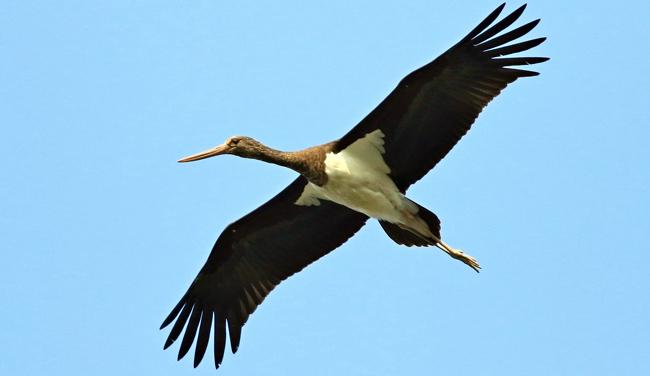 Nel cielo Cremasco vola la rarissima cicogna nera
